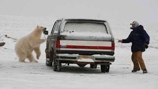 Нападение белых медведей на людей / Белый медведь воспринимает человека  как добычу