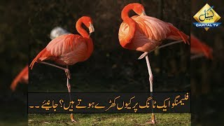 CapitalTV; Science Finally Discovered Why Flamingos Stand on 1 Leg