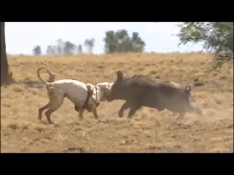 Incredible dog fighting (pitbull,kangal,dogo argentina)
