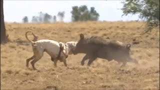 Incredible dog fighting (pitbull,kangal,dogo argentina)
