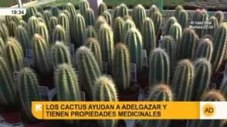 Los cactus y sus propiedades