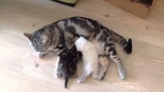Scotish babycats