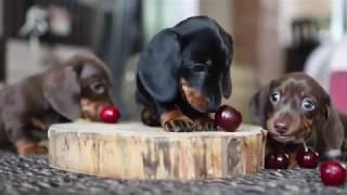 Dachshund Puppies 4k