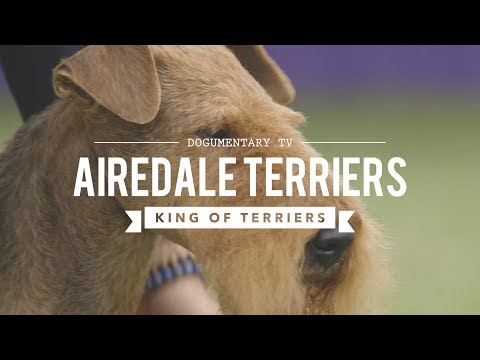 ALL ABOUT AIREDALE TERRIERS: KING OF ALL TERRIERS