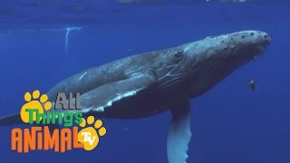 HUMPBACK WHALES | Animals for children. Kids videos. Kindergarten | Preschool learning
