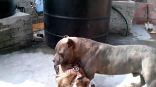 Pitbull Bully Vs Bulldog Ingles Jugando :)