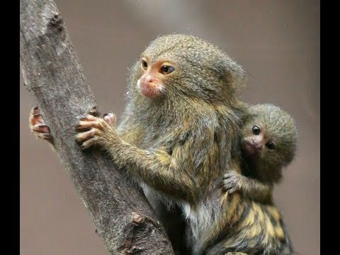 Finger Monkey Facts - Pygmy Marmoset Facts - Kidz Feed