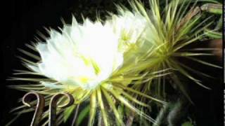 Night-blooming cereus cactus flower time-lapse