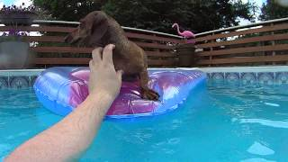 This Video Previously Contained A Copyrighted Audio Track. Due To A Claim By A Copyright Holder, The Audio Track Has Been Muted.     Dallas The Dachshund Swimming In The Pool (sony Hdr-as15 Action Cam 1080p Hd)