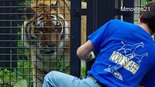 円山動物園のアムールトラのタツオ(オス/17歳)。 電柵の修理をしていた...