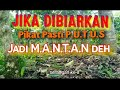 Pikat Kutilang Cengkram D O W N  Mp3 - Mp4 Download