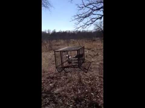 Tres Poynor - Turkey in Hog-Trap
