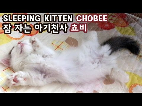 Thumbnail for Cat Video Sleeping Munchkin Kitten
