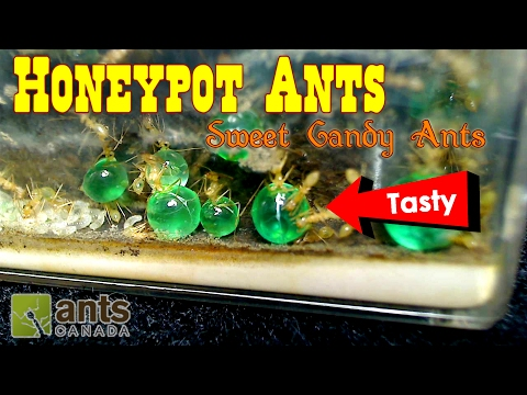 Thumbnail: SWEET CANDY ANTS - Honeypot Ants | Ant Love Contest 2017