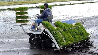 THIS IS HOW RICE GROWS IN JAPAN