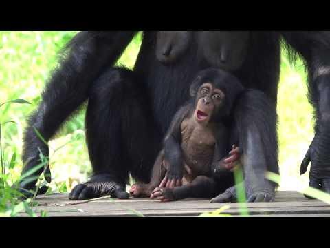 Aug 2019 Tama zoo chimps #5