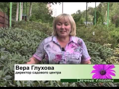 Дивный Сад - Актинидия