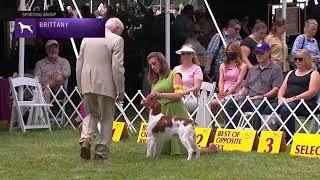 Brittanys | Breed Judging 2021