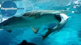 Shark eats shark in South Korean aquarium