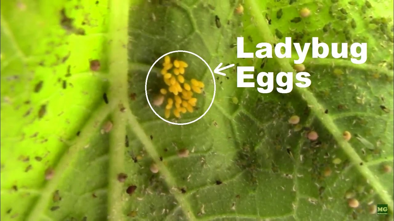 how to get rid of aphid eggs