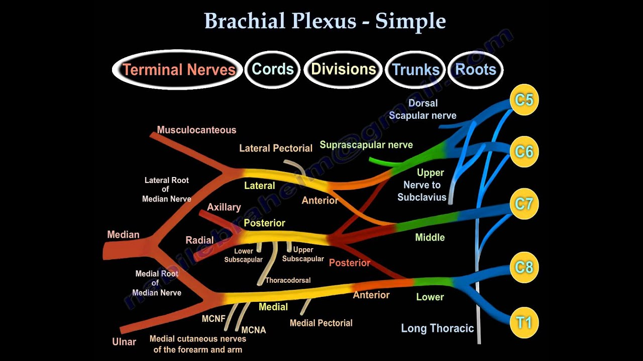 Brachial Plexus For Beginners Simple Everything You Need To Know Dr Nabil Ebraheim Youtube