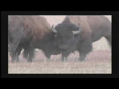Protect the Wild Bison of Yellowstone and Montana
