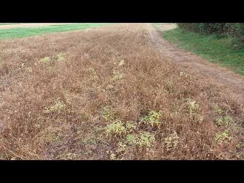 Коротко о главном перед посадкой чеснока. Грунтовой инсектицид Регент, защита от  вредителей.