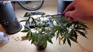 Cream Caramel + Colin OG Pollinate Cannabis