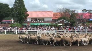 千葉県のマザー牧場ひつじの大行進より、牧羊犬の羊追い実演。