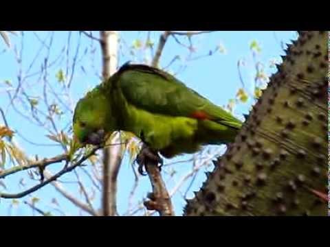 Green parrot and nothing to do – Video de un loro verde hablador en el árbol