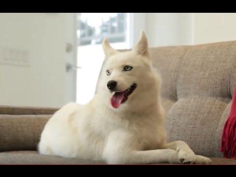 Pomsky Dogs 101: Is a Pomsky Dog Right For You?