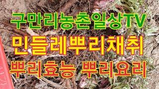 민들레뿌리효능 민들레요리 민들레차만들기