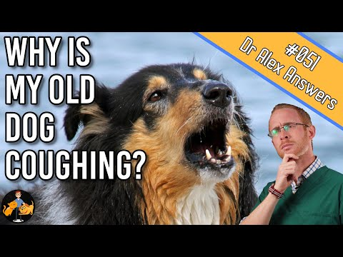 Why Is My Old Dog Coughing? (and How To Get To The Bottom Of It) - Dog Health Vet Advice