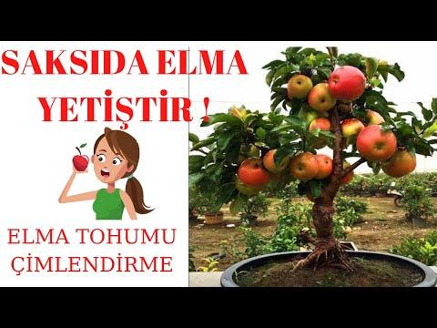 Evde elma ağacı yetiştirmek