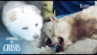 Pregnant Dog With A Leash Choked On Her Neck Couldn't Protect Her Puppies..| Animal in Crisis EP174