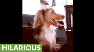 Dachshund has very unusual way of barking