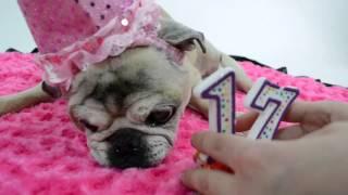 April Pug's 17th Birthday Party