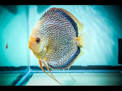 how to breed discus fish video