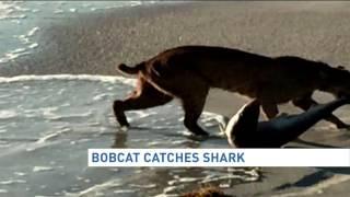 Bobcat drags shark out of Florida surf onto beach