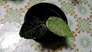 Комнатные растения. Обзор фикусов из личной коллекции.