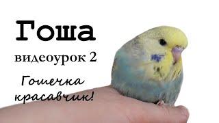 """♫ Учим попугая по имени Гоша говорить, видеоурок 2: """"Гошечка красавчик!"""""""