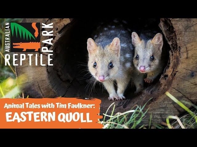 ANIMAL TALES WITH TIM FAULKNER | EPISODE 22 | EASTERN QUOLLS