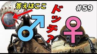 ヘラクレスオオカブト幼虫オスメス判別やってみた!【マット交換】【#56...
