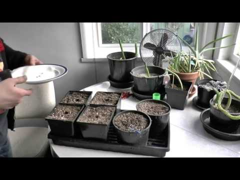 Starting From Seed How to start Growing Cannabis