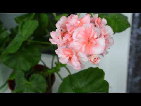 Пеларгония Brookside Primrose