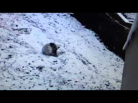Wolong National Nature Reserve - Panda sliding down the hill in the snow