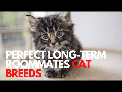 HEALTHY CAT BREEDS THAT MAKE THE PERFECT LONGTERM ROOMMATES