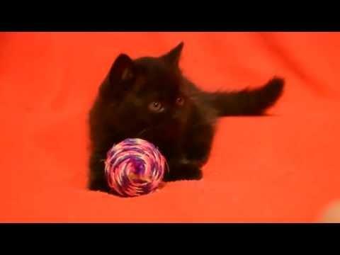 Предлагаем: котята для Вас! Элитные котята шотландские прямоухие черного окраса.