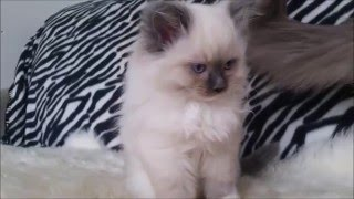Ragdoll Kittens for Sale January 2016