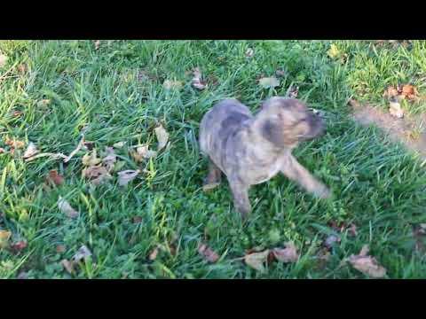 African Boerboel Puppies For Sale Jaylene Brinton